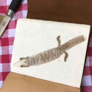 Shed Lizzard Skin