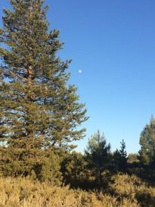 Wild Mountain Sage