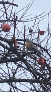 Robin and Persimmons