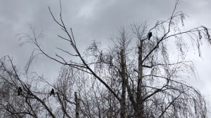 The Morrigan Three Crows in the Trees