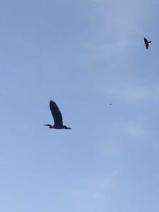 The Blue Heron 2